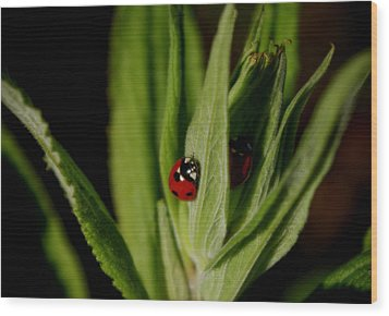 Wood Print featuring the photograph Ladybugs by Adria Trail