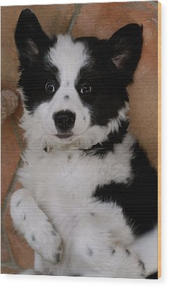 Laid Back Border Collie Wood Print by John Colley