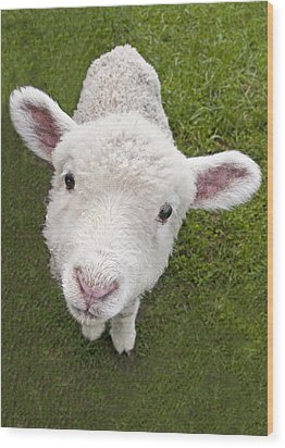 Wood Print featuring the photograph Lamb by Dennis Cox WorldViews