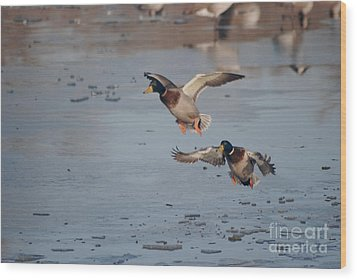 Wood Print featuring the photograph Landing Mallards by Mark McReynolds