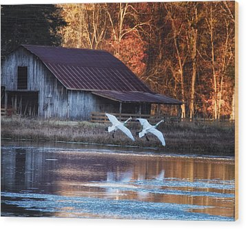 Landing Trumpeter Swans Boxley Mill Pond Wood Print by Michael Dougherty