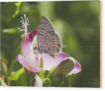 Lang's Short-tailed Blue II Wood Print by Meir Ezrachi