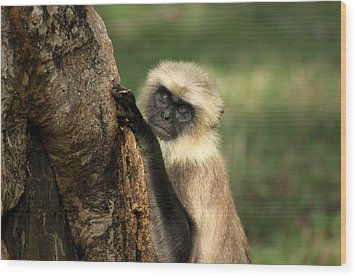 Wood Print featuring the photograph Langur - Hanuman Langur by Ramabhadran Thirupattur