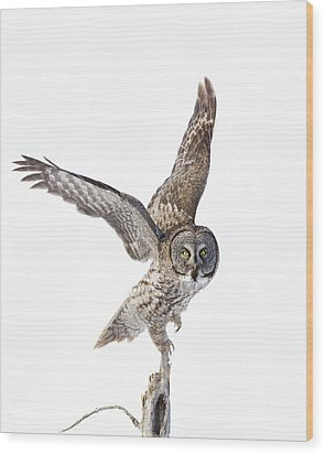 Lapland Owl On White Wood Print