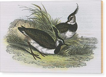 Lapwing Wood Print by English School