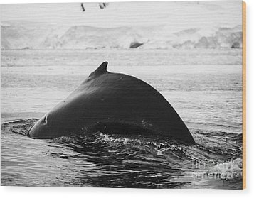 large male Humpback whale with arched back diving in Wilhelmina Bay Antarctica Wood Print by Joe Fox