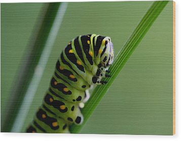Larva...caterpillar  Wood Print by Larry Trupp