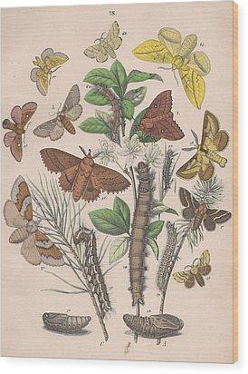 Lasiocampa Wood Print by W Kirby