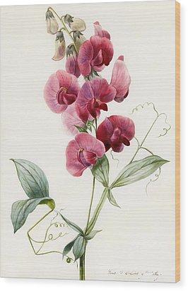 Lathyrus Latifolius Everlasting Pea Wood Print by Louise D Orleans