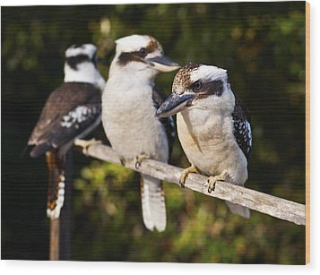Laughing Kookaburras Wood Print