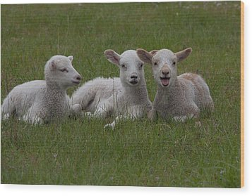Laughing Lamb Wood Print by Richard Baker