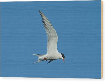 Laughing Tern Wood Print