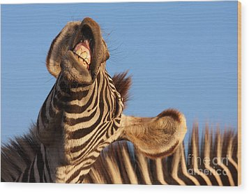 Wood Print featuring the photograph Laughing Zebra by Nick  Biemans