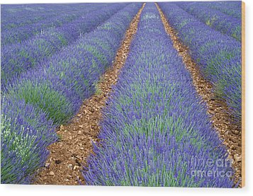 Lavendel 2 Wood Print by Arterra Picture Library