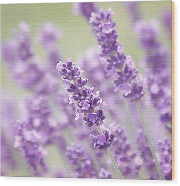 Lavender Dreams Wood Print by Kim Hojnacki