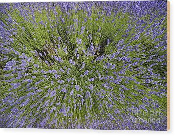 Lavender Explosion Wood Print by Tim Gainey