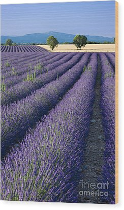 Lavender Fields Wood Print by Brian Jannsen