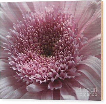 Lavender Gerbera Up Close Wood Print by Cathy Lindsey