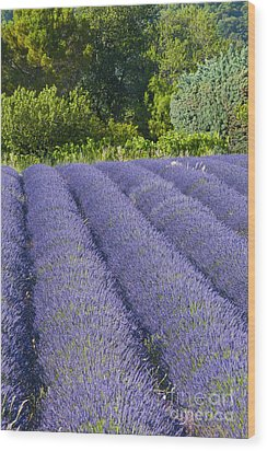Lavender Rows Wood Print by Bob Phillips