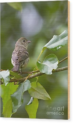 Lazuli Bunting Female 2 Wood Print by Sharon Talson