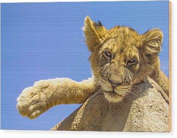 Lazy Lion Wood Print by Diane Diederich
