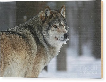 Leader Of The Pack Wood Print by Inspired Nature Photography Fine Art Photography