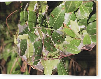 Leaf-stitching Ants Making A Nest Wood Print by Tony Camacho
