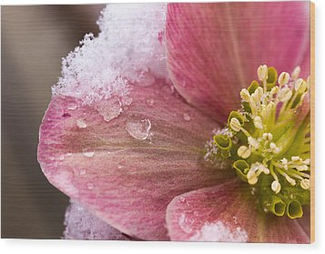 Wood Print featuring the photograph Lenten Rose by Cathy Donohoue
