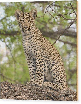 Leopard Cub Gaze Wood Print by Tom Wurl