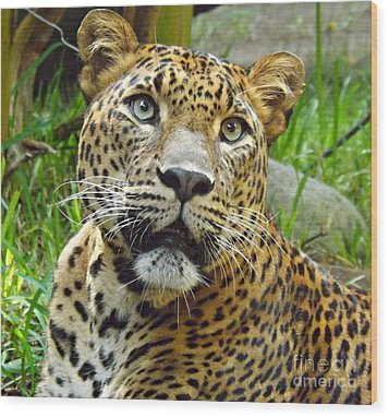 Leopard Face Wood Print by Clare Bevan