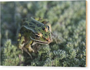 Leopard Frog In Wooly Thyme Wood Print