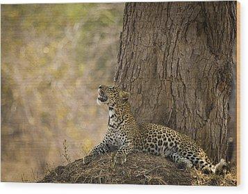 Leopard Gazing Up Wood Print by Alison Buttigieg