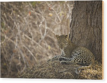 Leopard In Its Environment Wood Print by Alison Buttigieg