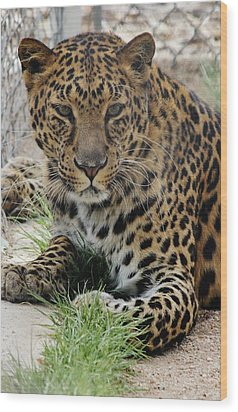 Leopard Lounging 1 Wood Print by Diane Alexander