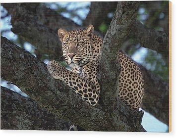 Leopard Male In A Tree In The Serengeti Wood Print by Maggy Meyer