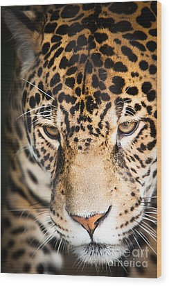 Leopard Resting Wood Print by John Wadleigh