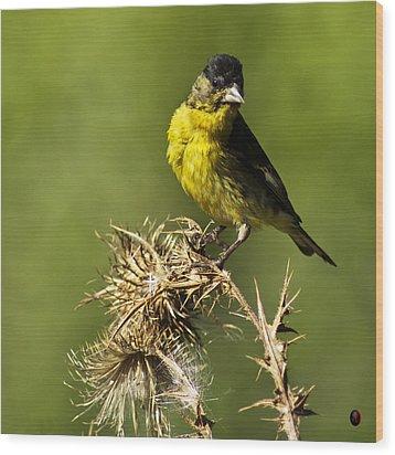 Lesser Goldfinch Milkweed Thistle Wood Print by James Ahn