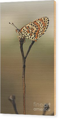 Lesser Spotted Fritillary Wood Print by Alon Meir