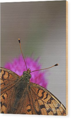 Lesser Spotted Fritillary Wood Print by Amos Dor