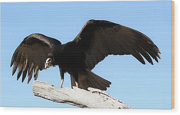 Lesser Yellow Headed Vulture Wood Print by Paulette Thomas