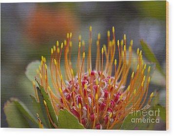 Leucospermum Pincushion Protea - Tropical Sunburst Wood Print by Sharon Mau