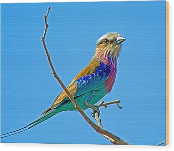 Lilac-breasted Roller In Kruger National Park-south Africa Wood Print by Ruth Hager