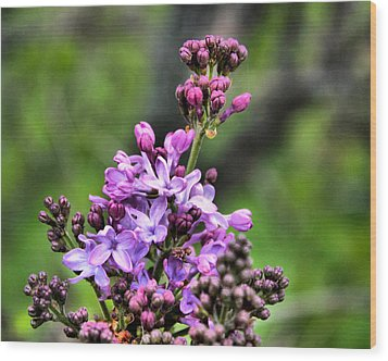 Lilacs Wood Print by Tim Buisman