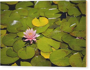 Lilly Pond Pink Wood Print by Peter Tellone