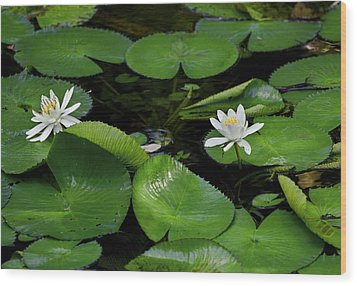 Lily Pads And Blossoms Wood Print by Rich Franco