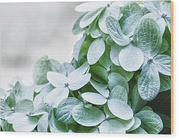 Wood Print featuring the photograph Limelight Hydrangea by Cathy Donohoue