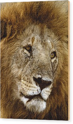 Lion 01 Wood Print by Wally Hampton