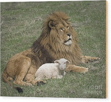 Lion And Lamb Wood Print by Wildlife Fine Art