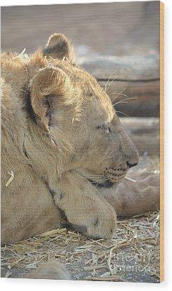 Lion Cub Dozing In The Sun Wood Print