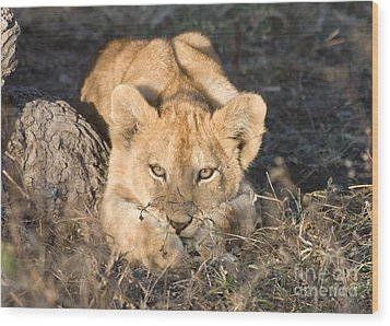 Wood Print featuring the photograph Lion Cub Waiting For Mother by Chris Scroggins